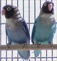 Jenis Lovebird Black - cheek